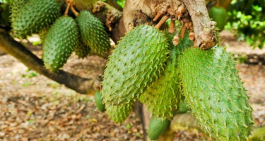EVERY THING YOU NEED TO KNOW ABOUT SOURSOP